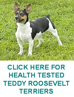 HEALTH TESTED TEDDY ROOSEVELT TERRIERS